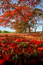 Flamboyant Tree  Mauritius Island