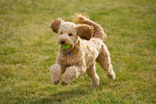 Happy Goldendoodle Dog Plays At The Park With A Tennis Ball