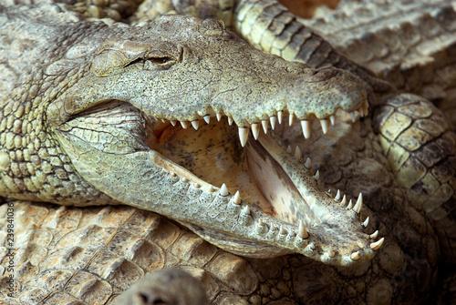 Crocodile du nil; Crocodylus niloticus