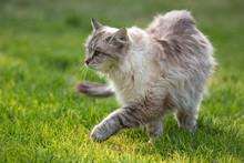 Grey Ragdoll Tabby Cat Prowls Oudoors On Green Grass