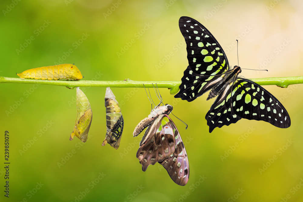 Fototapeta Tailed Jay (Graphium agamemnon) butterfly life cycle
