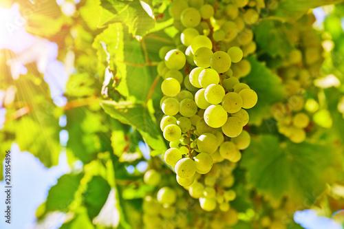 Vineyard with white grape cluster growing harvest for wine Fototapet