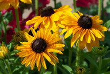 Trio Of Black-eyed Susan Flower In A Garden
