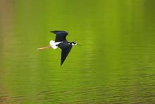 Black-necked Stilt In Flight O...