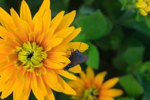 Great Purple Hairstreak Butterfly On A Yellow Black-eyed Susan Flower