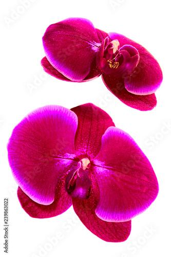 Fotografía  two orchid flowers, eggplant color