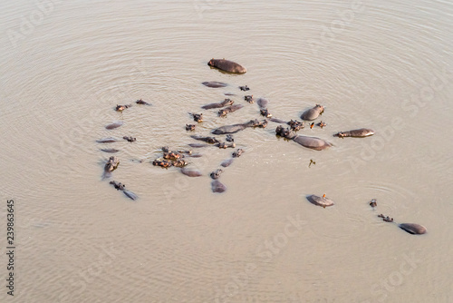 Aerial view on large group of hippos in the Okavango River, aerial view from heli., Okavango Delta, Botswana, Africa