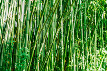 Green Bamboo Stems. Bamboo Forest. Green Wall Of Bamboo Stalks