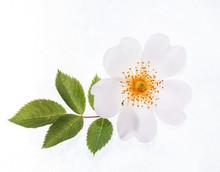 Wild Roses On The White
