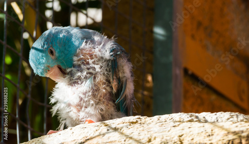 Photo diseased blue small parrot, scratching from the itch and plucking its feathers,