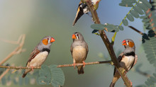 Three Zebra Finches On A Branch