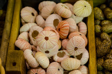 Sea Urchin Skeleton For Sale.
