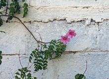 Ranke Der Klettertrompete Mit Lila Blüte An Einer Weißen Wand
