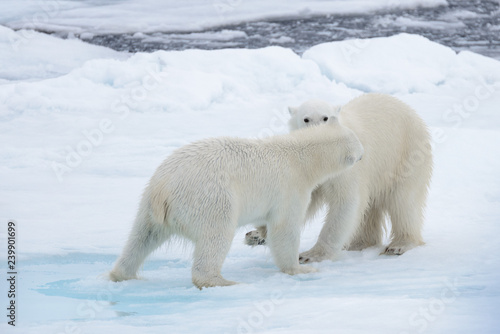 Canvas Prints Polar bear Two young wild polar bears playing on pack ice in Arctic sea