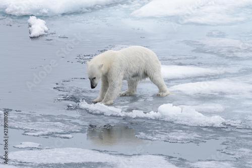 In de dag Ijsbeer Wet polar bear going on pack ice in Arctic sea