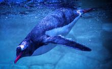 Gentoo Penguin Swimming Marine Life Underwater Ocean