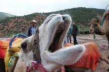 Close Up Of Yawning Camel