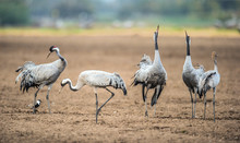Dancing Cranes In Arable Field.  Common Crane Or Eurasian Crane, Scientific Name: Grus Grus, Grus Communis.
