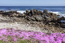 Wildflowers And Rocky Shore Of Asilomar State Beach. Pacific Grove, Monterey County, California, USA.