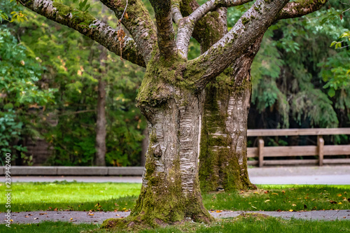 Fotografie, Obraz  Two large trees with huge trunks and branches covered in moss, standing side by