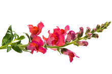 Snapdragon Flower Red Isolated