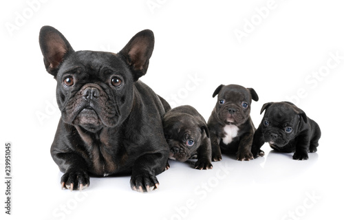 Spoed Foto op Canvas Franse bulldog family french bulldog