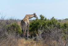 Giraffe In The African Savanna