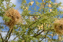 Weaver Bird In The Nest
