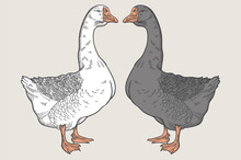 White Goose, Grey Goose, Goose Hand Drawn, Poultry, Vector Illustration Sketch