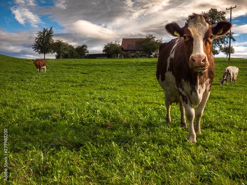 Aluminium Prints Cow Kuh