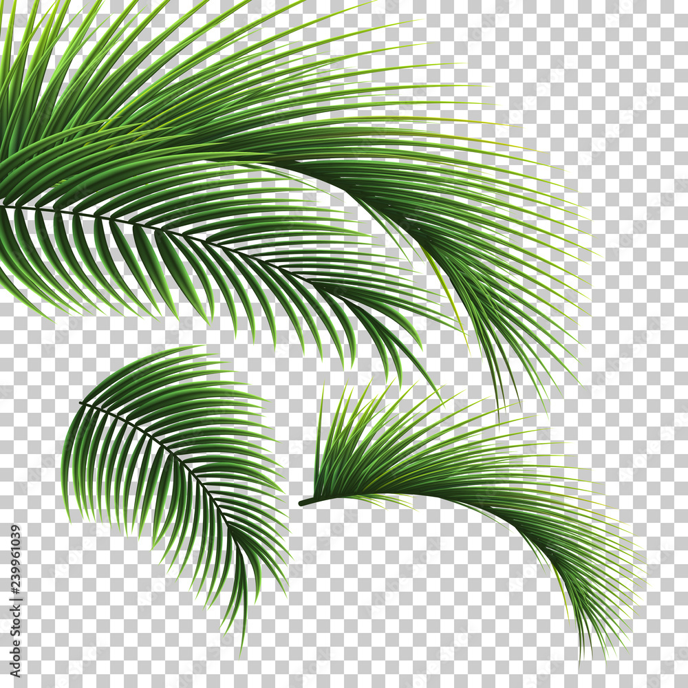 Fototapety, obrazy: Palm leaves. Green leaf of palm tree on transparent background. Floral background.