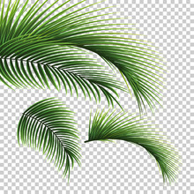 Palm Leaves. Green Leaf Of Pal...