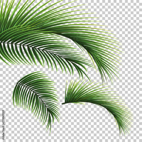 Palm leaves. Green leaf of palm tree on transparent background. Floral background.  Wall mural