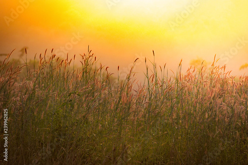 Fotobehang Gras autumn grass mission flower dry on green field in forest nature summer sunrise or sunset sky yellow and grass