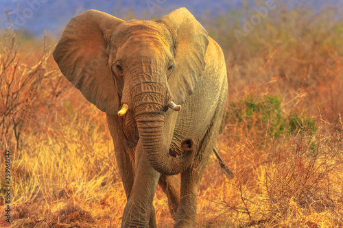 African Elephant, Loxodonta, walking in savannah. Game drive safari in Madikwe Game Reserve, South Africa. Blurred background in dry season. The African Elephant is part of Big Five.