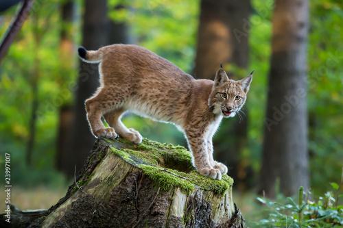 Fényképezés  Junger Luchs auf einem Baumstumpf stehend