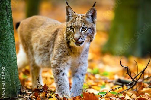 Junger Luchs im Herbstwald