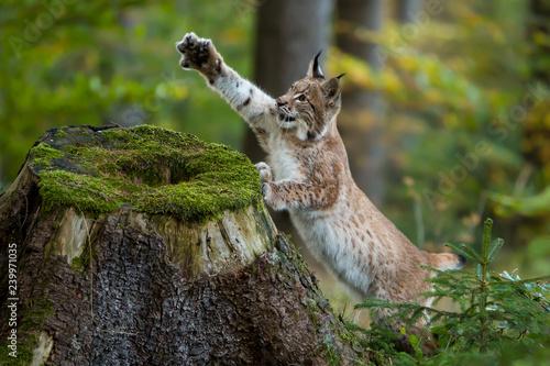 Foto auf Leinwand Luchs Junger Luchs mit ausgestreckter Pfote am Baumstumpf
