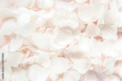 Stampa su Tela Background texture made of beige petals roses on pink background
