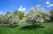 Blühende Apfelbäume auf einer Wiese im Sonnenschein