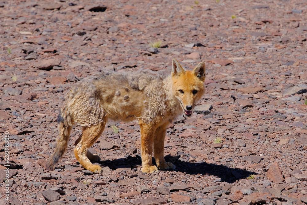 Fotografía Andean Fox Lycalopex Culpaeus Also Known As Culpeo