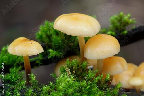 Carta da parati  Enokitake, Flammulina velutipes, also called futu, seafood mushroom, winter mush