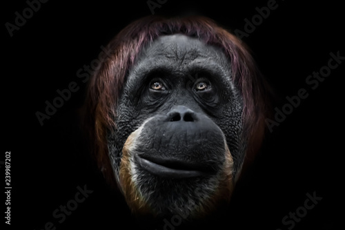 Foto op Aluminium Aap Face phlegmatic orangutan close-up