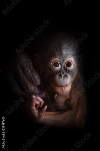 A small baby orangutan boldly looking forward. Fotomurales