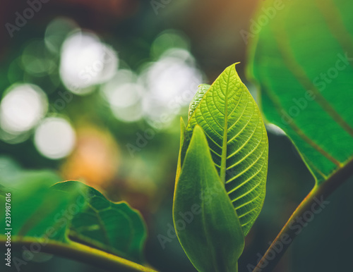 Korth Cottage Leaves (Kratom flowers) growing in nature are addictive and medical Wallpaper Mural