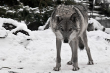 A Wolf Looks Directly At You With Its Head Down - A Wolf's Gaze, The Figure Of A Predator Expresses Danger