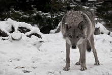 A Wolf Looks Directly At You W...