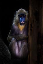 A Beautiful Madrill Monkey Wit...