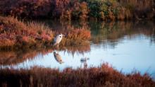 Garça No Lago