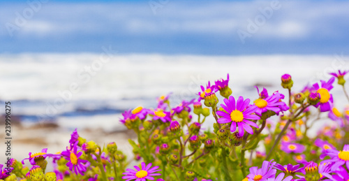 Pink Coastal Flowers On A Beach In Cape Town